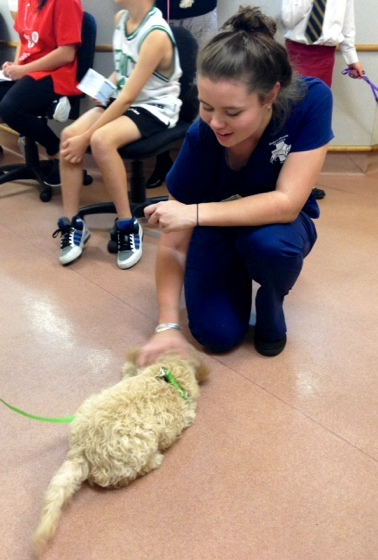 Jess from Bedford-Dianella Vet Centre teaching our puppy, Dante, to roll at puppy pre-school.